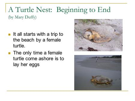 A Turtle Nest: Beginning to End (by Mary Duffy) It all starts with a trip to the beach by a female turtle. The only time a female turtle come ashore is.