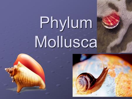 Phylum Mollusca. Introduction Mollusk – slugs, snails, octopus, squid, clam, oyster 50,000 living mollusk species and about 35,000 fossil species. The.