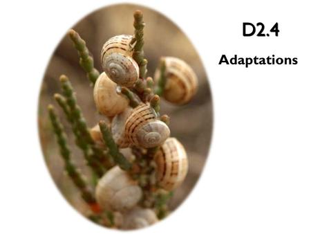 D2.4 Adaptations. Thousands of generations can be studied by looking at the fossil record of the species. – From this, Biologists can study the morphology.