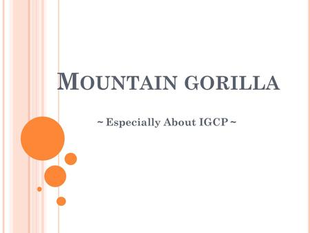 M OUNTAIN GORILLA ~ Especially About IGCP ~. I NTRODUCTION About gorilla there are three kinds of gorilla ・ the East Lowland gorilla→there are 3,000 ~