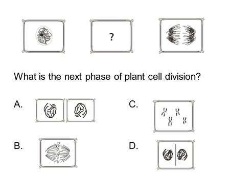 What is the next phase of plant cell division? A. C. B. D.