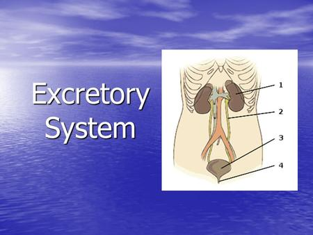Excretory System. Why do our bodies need to filter waste from the body? Why do our bodies need to filter waste from the body? –Maintain homeostasis –Removal.
