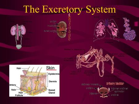The Excretory System. The excretory system The excretory system includes the skin, lungs and kidneys which all release metabolic wastes from the body.