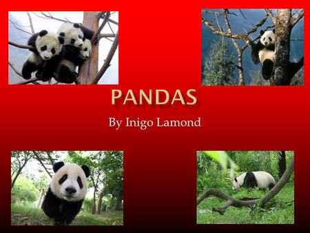 By Inigo Lamond. What Are Pandas? Pandas are Mammals. They are related to bears Pandas can be aggressive when threatened.