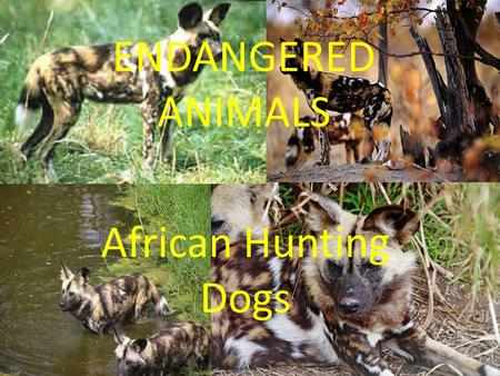 ENDANGERED ANIMALS African Hunting Dogs. Characteristics SizeLike a medium size domestic dog(60-75 cms tall). DietCarnivores (eats meat). ColourShaded.