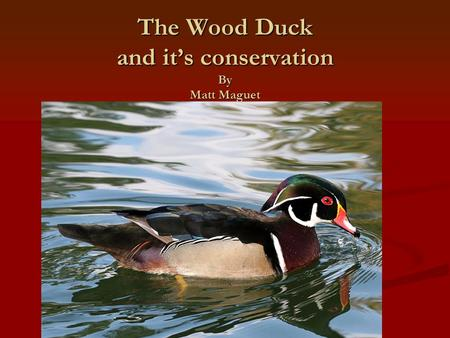 The Wood Duck and it's conservation By Matt Maguet.