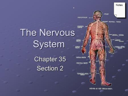 Notes The Nervous System Chapter 35 Section 2.