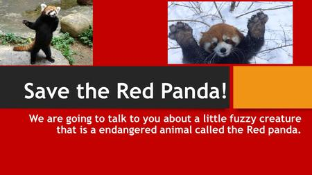 Save the Red Panda! We are going to talk to you about a little fuzzy creature that is a endangered animal called the Red panda.