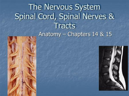 The Nervous System Spinal Cord, Spinal Nerves & Tracts