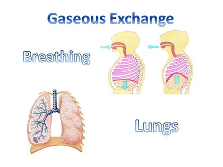 Gaseous Exchange Breathing Lungs.