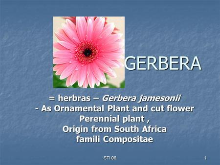 STI 06 1 GERBERA = herbras – Gerbera jamesonii - As Ornamental Plant and cut flower Perennial plant, Origin from South Africa famili Compositae.