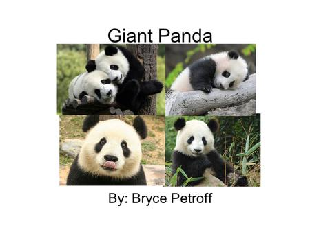 Giant Panda By: Bryce Petroff. Diet There are few items that the Panda consumes. Some of the items are mostly bamboo. They also eat grass, sugar cane,