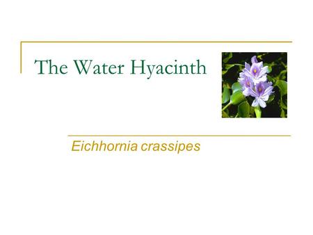 The Water Hyacinth Eichhornia crassipes. Water Hyacinth Labeled one of the worst invasive plants in the world It is a member of the Pontederiaceae family.