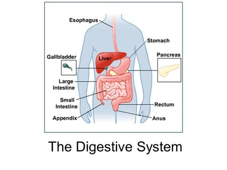 The Digestive System. 15.1 Functions: mechanical and chemical breakdown of food *absorption of nutrients Consists of alimentary canal and accessory organs.