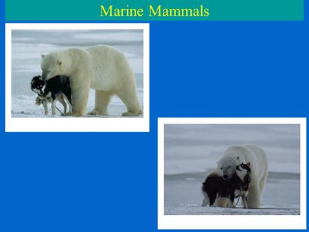 Marine Mammals. C.Order Cetacea Whales, dolphins, porpoises 90 species – 85 marine, 5 freshwater (dolphins) Front flippers, tail, no rear limbs Streamlined.
