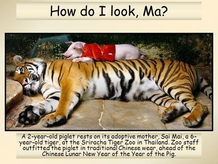 How do I look, Ma? A 2-year-old piglet rests on its adoptive mother, Sai Mai, a 6- year-old tiger, at the Sriracha Tiger Zoo in Thailand. Zoo staff outfitted.