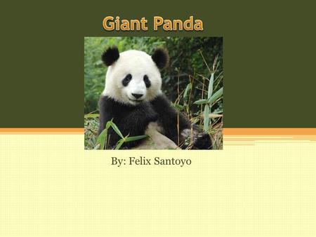 By: Felix Santoyo. Giant Panda's Habitat The Giant Panda has it's habitat in bamboo forests, high elevation in the mountains. Located in Western China.
