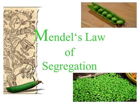 M endel's Law of Segregation. Georg Mendel Austrian monk born in 1822 in monastery known for research and teaching after his death (1884) acknowledgment.