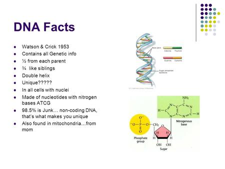 DNA Facts Watson & Crick 1953 Contains all Genetic info ½ from each parent ¾ like siblings Double helix Unique????? In all cells with nuclei Made of nucleotides.