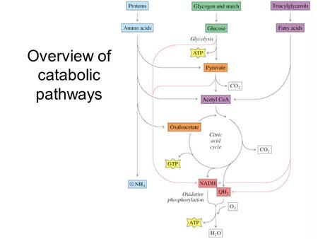 Overview of catabolic pathways. Chapter 16 - Lipid Metabolism Triacylglycerols and glycogen are the two major forms of stored energy in vertebrates Glycogen.