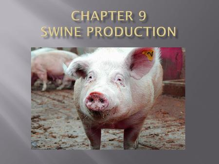 Names for Swine :  Hogs  Pigs  Swine Swine Industry change:  Factory farms.
