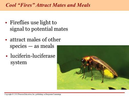 Copyright © 2003 Pearson Education, Inc. publishing as Benjamin Cummings Fireflies use light to signal to potential mates attract males of other species.