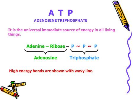 ATP ADENOSINE TRIPHOSPHATE It is the universal immediate source of energy in all living things. Adenine – Ribose – P ~ P ~ P AdenosineTriphosphate ~~ High.