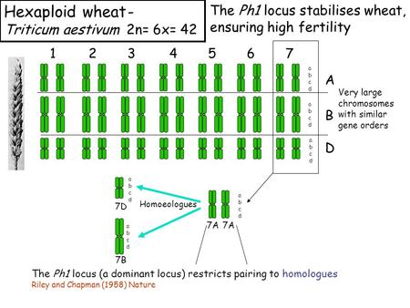 Hexaploid wheat- Triticum aestivum 2n= 6x= 42 1234567 A B D abcdabcd abcdabcd abcdabcd Very large chromosomes with similar gene orders 7A abcdabcd Homoeologues.