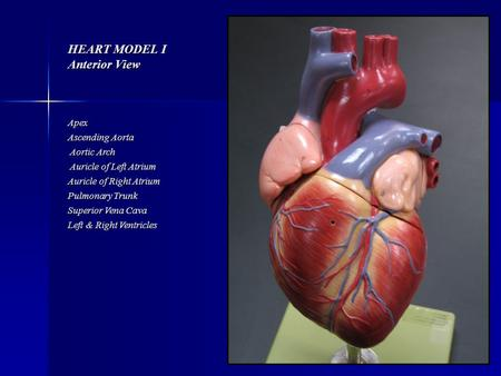 HEART MODEL I Anterior View Apex Ascending Aorta Aortic Arch Auricle of Left Atrium Auricle of Right Atrium Pulmonary Trunk Superior Vena Cava Left & Right.