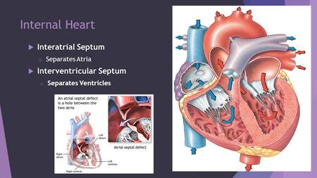 Internal Heart Interatrial Septum Interventricular Septum