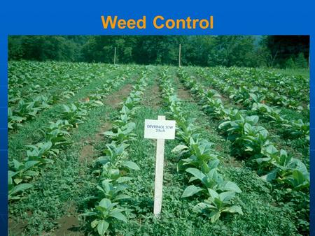 Weed Control. Weeds Competition Space Light Nutrient Water Physical Damage Morningglories Honeyvine Milkweed.
