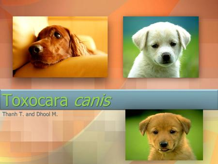 Toxocara canis Thanh T. and Dhool M..