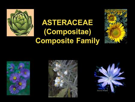 ASTERACEAE (Compositae) Composite Family. Leaves: alternate or opposite, mostly simple, usually toothed or lobed, texture coarse, rough.