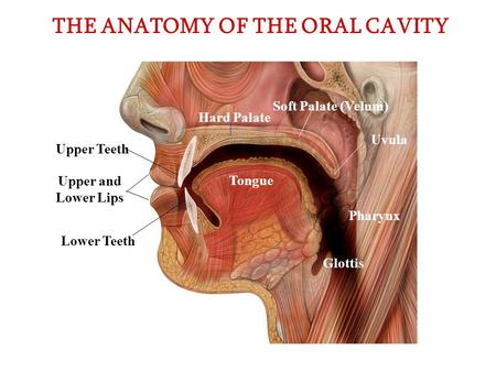 THE ANATOMY OF THE ORAL CAVITY Upper and Lower Lips Upper Teeth Lower Teeth Soft Palate (Velum) Hard Palate Uvula Pharynx Glottis Tongue.
