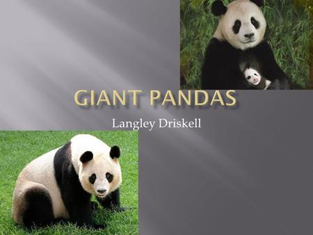 Langley Driskell.  Giant Pandas live in a few mountain ranges in central china in sichuan, shaanxi, and Gansa provinces.They once lived in louland areas,