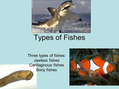 The first vertebrates oldest and simplest vertebrates for Types of bony fish