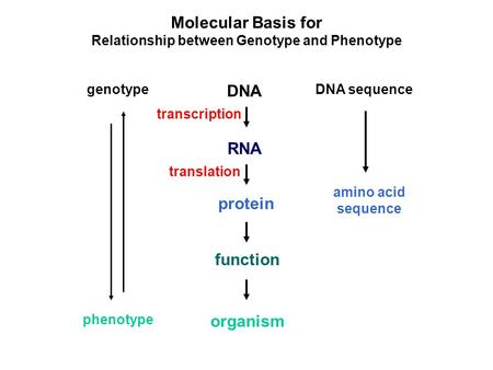 Molecular Basis for Relationship between Genotype and Phenotype DNA RNA protein genotype function organism phenotype DNA sequence amino acid sequence transcription.