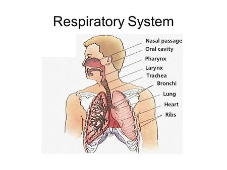 Respiratory System. Cellular Respiration Most cells utilize cellular respiration to convert the chemical energy stored in nutrient macromolecules to the.