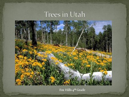 Fox Hills 4 th Grade. Ponderosa Pine Douglas Fir Blue Spruce Utah Juniper Rocky Mountain Red Cedar Most conifers, or softwoods, have narrow, needlelike,