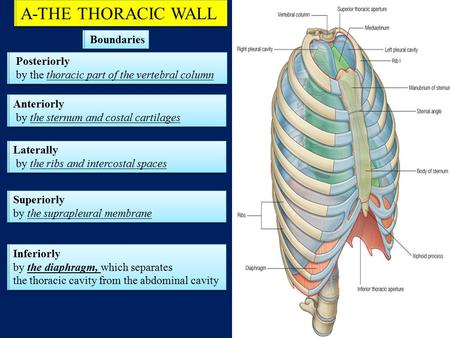 A-THE THORACIC WALL A-THE THORACIC WALL Boundaries Boundaries