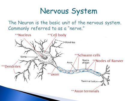 "Nervous System The Neuron is the basic unit of the nervous system. Commonly referred to as a ""nerve."" **Nucleus **Cell body **Schwann cells **Nodes of."