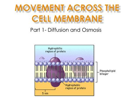 Part 1- Diffusion and Osmosis. I. The Cell Membrane cell membrane into The cell membrane controls what moves into and out of out of the cell lipidbilayer.