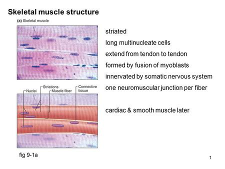 1 Skeletal muscle structure fig 9-1a striated long multinucleate cells extend from tendon to tendon formed by fusion of myoblasts innervated by somatic.
