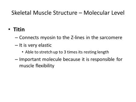 Skeletal Muscle Structure – Molecular Level Titin – Connects myosin to the Z-lines in the sarcomere – It is very elastic Able to stretch up to 3 times.