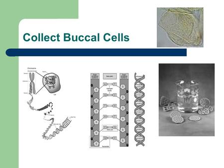 Collect Buccal Cells. PCR Polymerase Chain Reaction DNA/gene amplification.