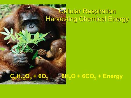 6H 2 O + 6CO 2 + EnergyC 6 H 12 O 6 + 6O 2 Cellular Respiration Harvesting Chemical Energy.