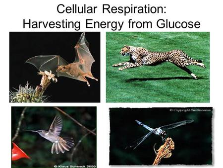 Cellular Respiration: Harvesting Energy from Glucose.