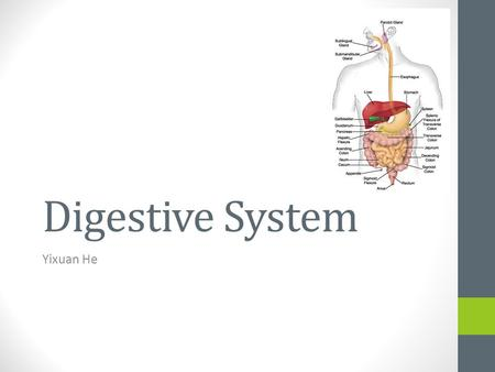 Digestive System Yixuan He. Function Break up food into smaller pieces. Transporting food to the GI tract (gastrointestinal) Secreting digestive enzymes.