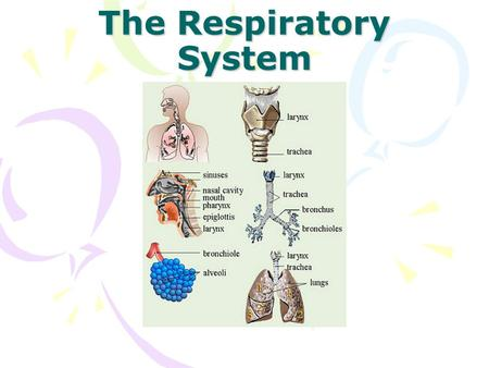 The Respiratory System. What is the system? Your respiratory system is made up of the organs in your body that help you to breathe. Respiration = Breathing.