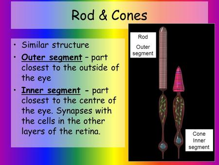 Rod & Cones Similar structure Outer segment – part closest to the outside of the eye Inner segment - part closest to the centre of the eye. Synapses with.